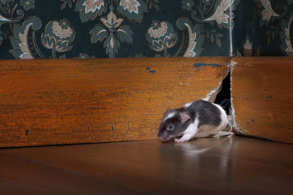 mice control services
