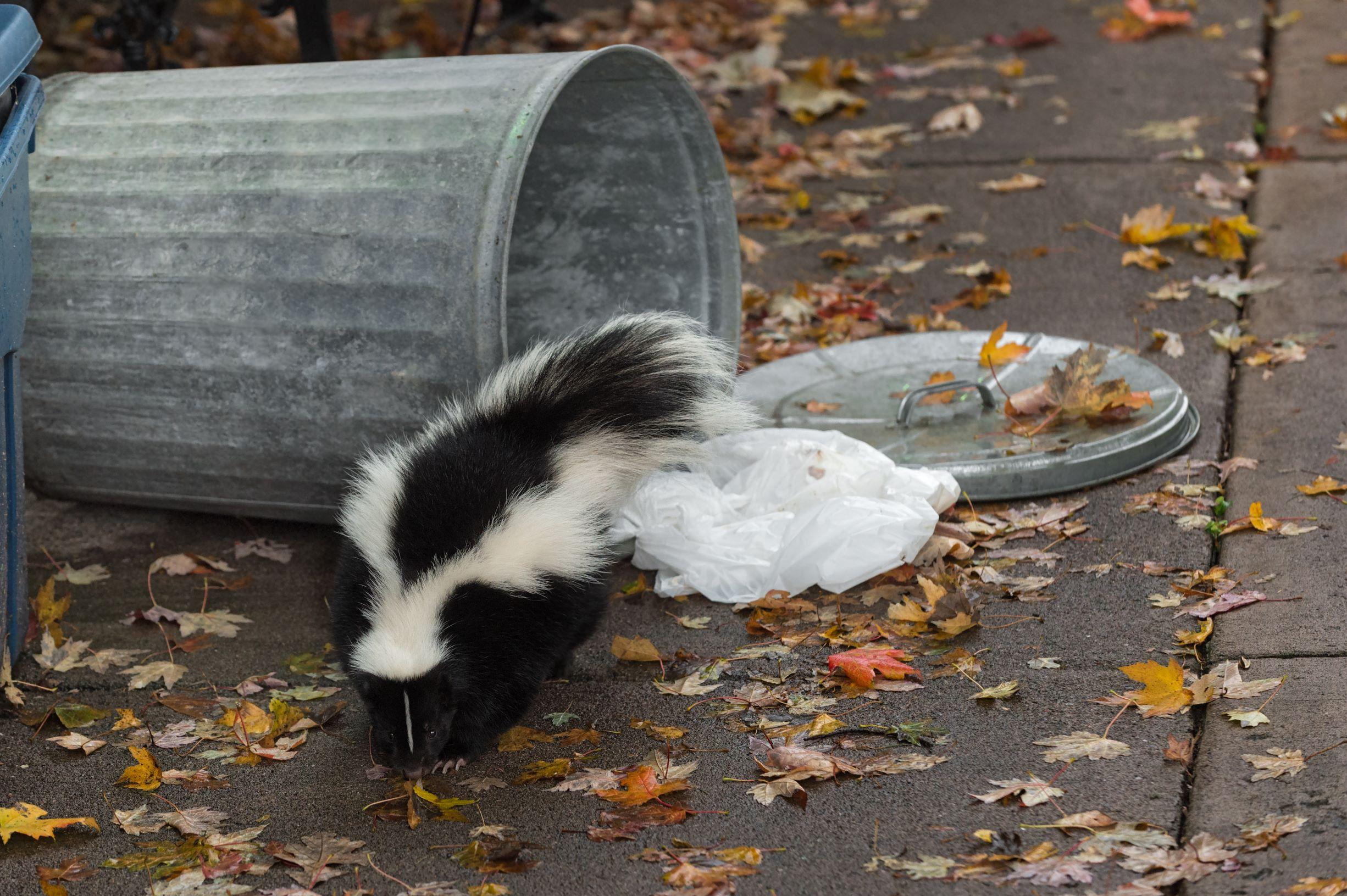 skunk infestation